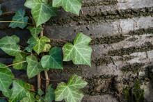 Ivy Plant Climbing Tree In Autumn