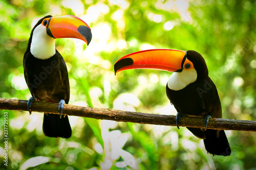 Foto op Plexiglas Toekan Two Toco Toucan Birds on the Branch in the Forest
