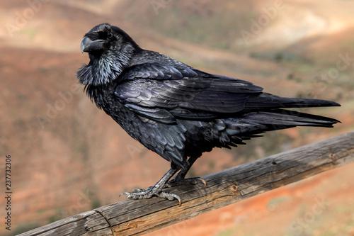 Photo Raven close up, black Raven bird