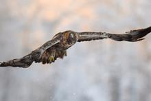 Golden Eagle Bird In Flight