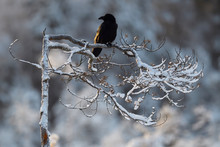 Eurasian Common Raven Bird  Sit On Tree Branch