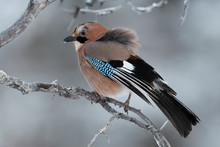 Eurasian Common Jay Bird Sit O...