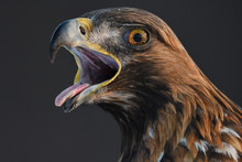 Golden Eagle Bird Portrait