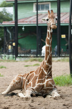The Young Giraffe Is Lying On ...