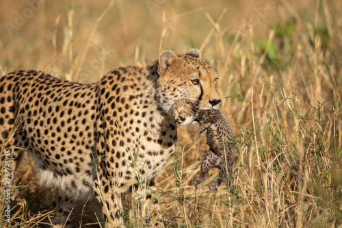 Cheetah with a newborn cub in its jaws