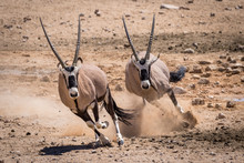 Two Oryx Running In The Namib ...