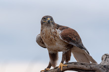 Ferruginous Hawk On Perch