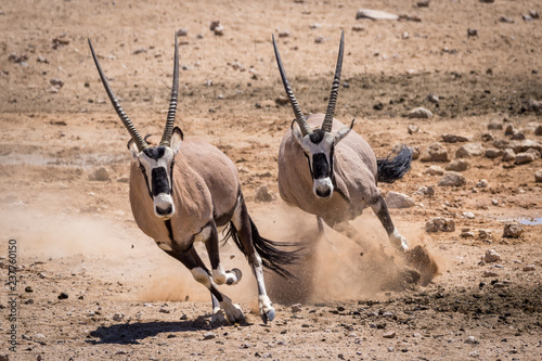Two Oryx running in the Namib desert