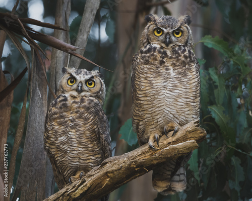 Two Great Horned Owls Perched on a Low Eucalyptus Tree Branch Wall mural