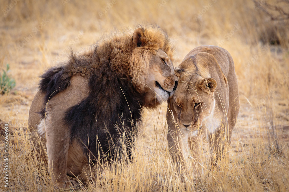 Fototapeta A lovely lion couple cuddling