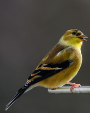 American Goldfinch On Perch At Bird Feeder In Winter