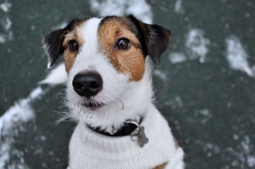 portrait of a jackrussell