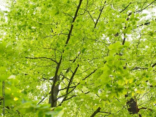 Grüner Buchenbaum mit zarten Blättern