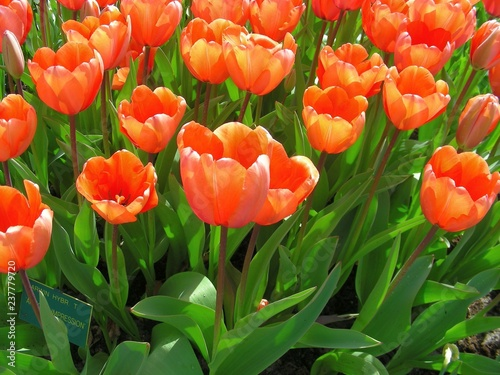 Photo  red tulips in the garden