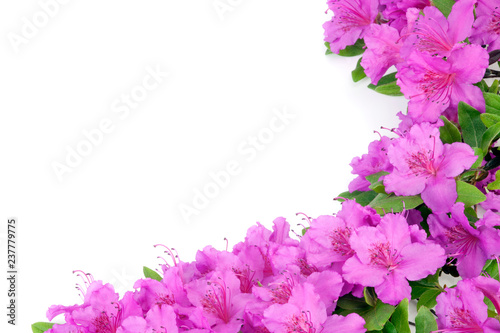 Poster Azalea Purple Japanese Azalea isolated on white background. Selective focus. Bunch of many light purple color flowers.