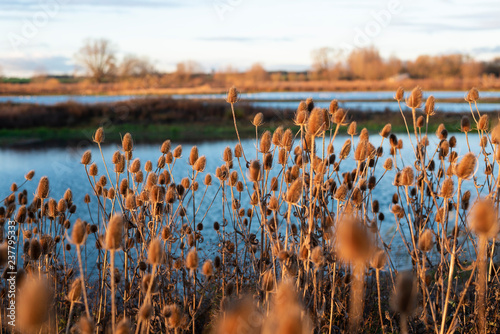 Slika na platnu Teasel with wetland nature reserve on an autumn evening