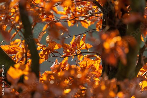 Boklöv med höstfärger i solsken