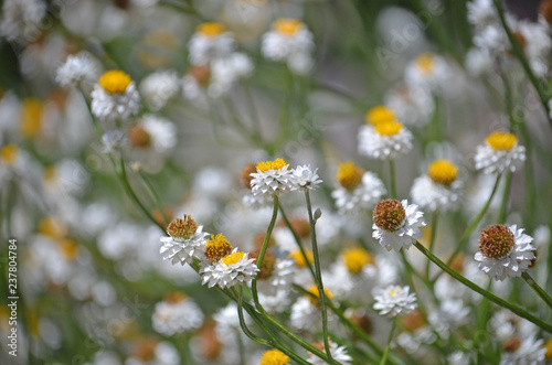 Fresh summer floral garden bed background of White and gold Winged Everlasting Daisies, Ammobium alatum, family Asteraceae. Native to eastern Australia