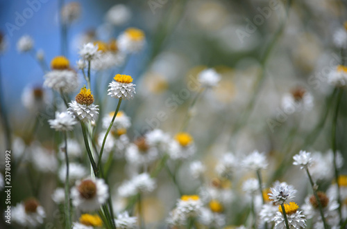 Fresh summer floral background of White and gold Winged Everlasting Daisies, Ammobium alatum, family Asteraceae, against a blue sky. Native to eastern Australia