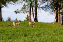 Two White-tailed Deer In Green Field