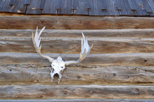 Moose Skull And Antlers Mounted On A Log Cabin Wall Outside