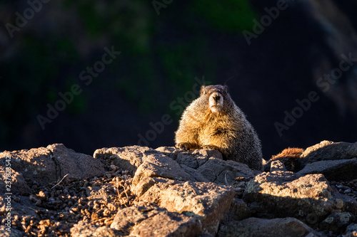 Fotografie, Obraz  Marmots on a cliff
