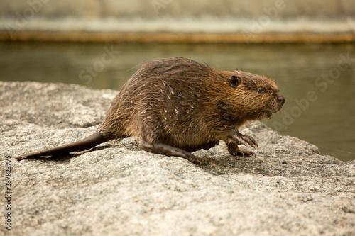 Photo Eurasian beaver (Castor fiber) .