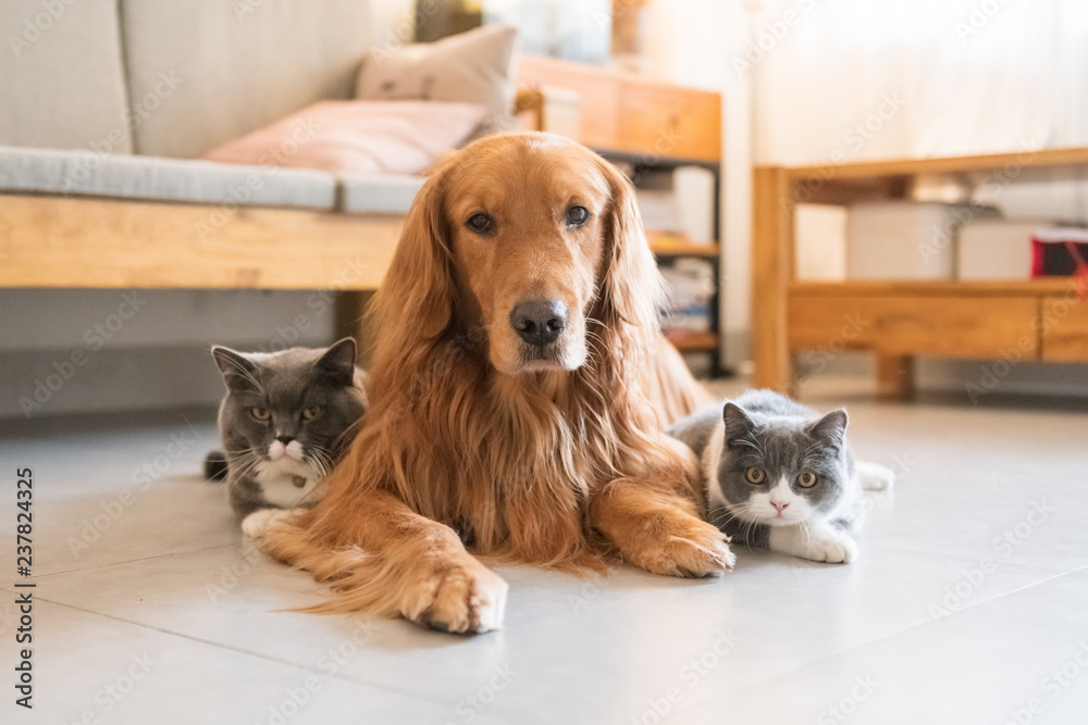 Fototapety, obrazy: Golden Hound and British short-haired cat