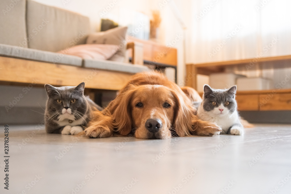 Fototapeta Golden Hound and British short-haired cat