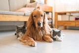 Fototapeta Zwierzęta - Golden Hound and British short-haired cat