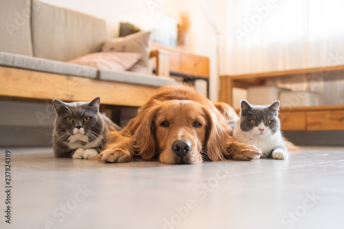 Fotografie, Obraz  Golden Hound and British short-haired cat