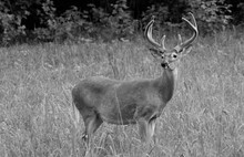 Whitetail Buck, White Tail  In Velvet, Big Bucks, Male Deer, Black And White.