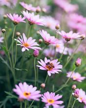 Field Of Beautiful Pink Flower...