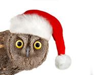European Scops Owl, Otus Scops...