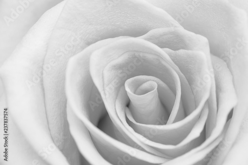 Fototapeta Closeup gray rose flower soft focus obraz na płótnie