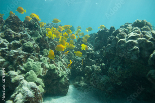 Fotografie, Obraz  Beautiful underwater scene with a school of yellow tangs in Hawaii