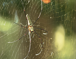 One Golden Web Spider climbs on its fiber in the wild.