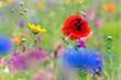 Blumenwiese mit Mohnblume