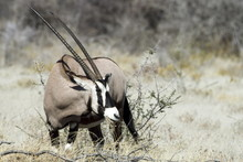 Namibian Oryx, Very Large Antelope Of Southern Africa