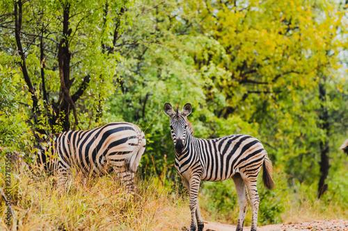 wildes Zebra im Karongwe Reservat in Südafrika - Safari