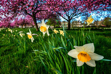 Cherry Trees And Daffodils