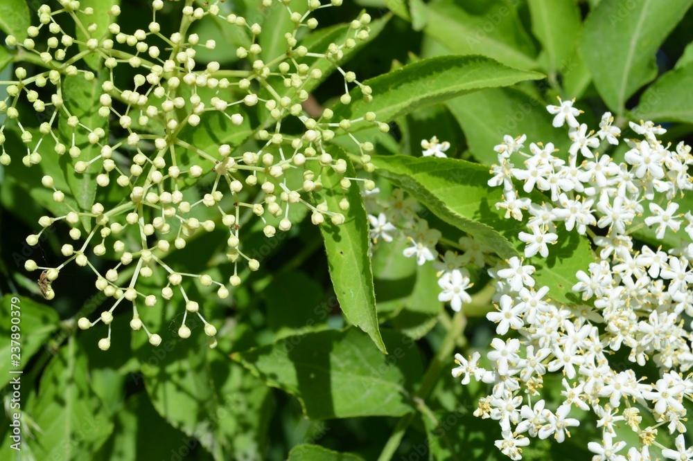 Fototapeta Czarny bez, Sambucus nigra, w płenym rozkwicie