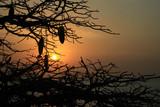 Fototapeta Sawanna - kontury konarów i owoców baobabu na tle zachodzącego słońca w afryce