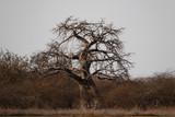 Fototapeta Sawanna - samotnie rosnące duże afrykańskie drzewo baobab bez liści na sawannie