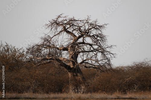 samotnie rosnące duże afrykańskie drzewo baobab bez liści na sawannie