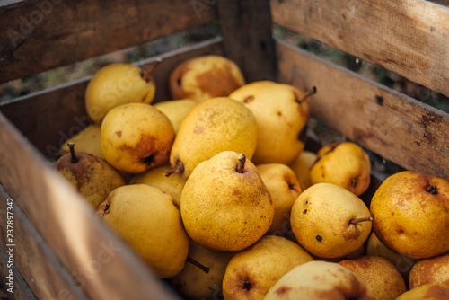 Organic yellow pears in a wooden crate