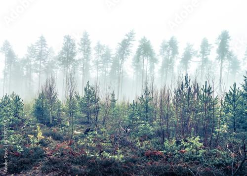 Fotografie, Obraz  A forest landscape in autumn Scandinavia