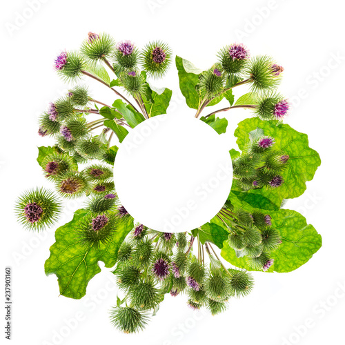 Fényképezés Greater Burdock (Arctium lappa) plant in circle on white background