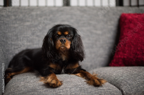 Cute, sweet, Cavalier King Charles Spaniel, black and tan, on a gray sofa, with red pillow Canvas-taulu