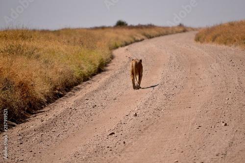 löwin auf strasse serengeti Canvas Print